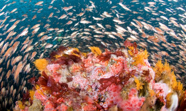 Fish swarm in the Cordell Bank sanctuary off the northern California coast. (NOAA/Joe Hoyt)